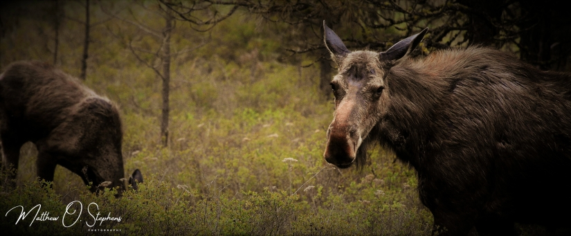Moose (2 of 2)