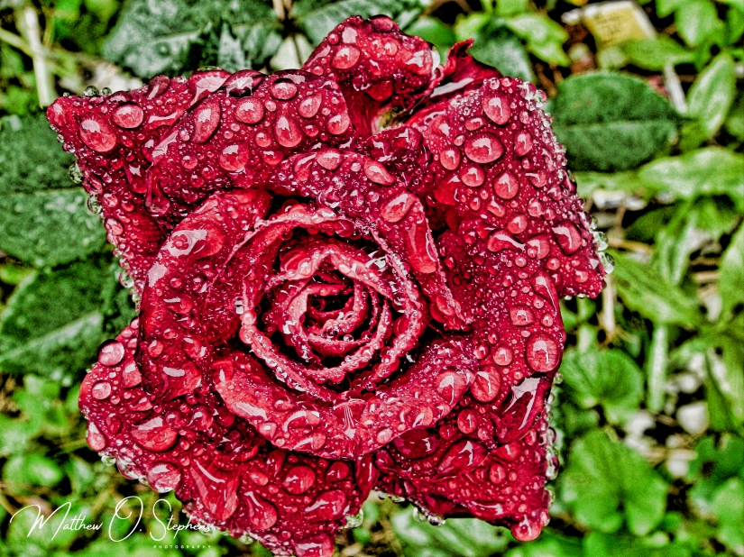 Rose with raindrops (1 of 1)