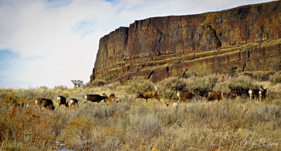 Deer grazing at the foot of Steamboat Rock