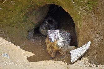 Young marmots ventured out to say hello
