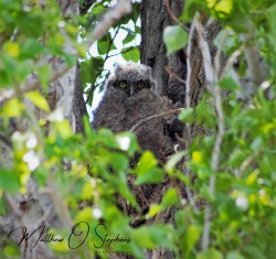 Owlet from Potholes-1