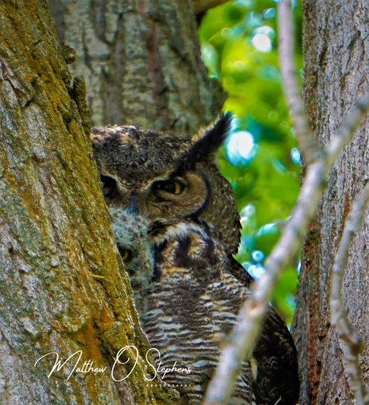Owl with Owlet