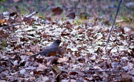 Robin tossing leaves